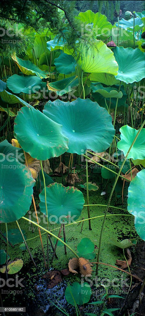Duckweed and Lotus Leaves stock photo
