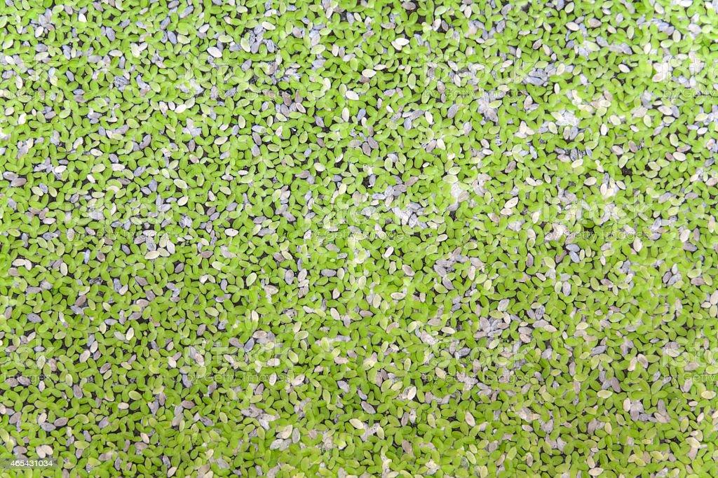 Duckweed background royalty-free stock photo