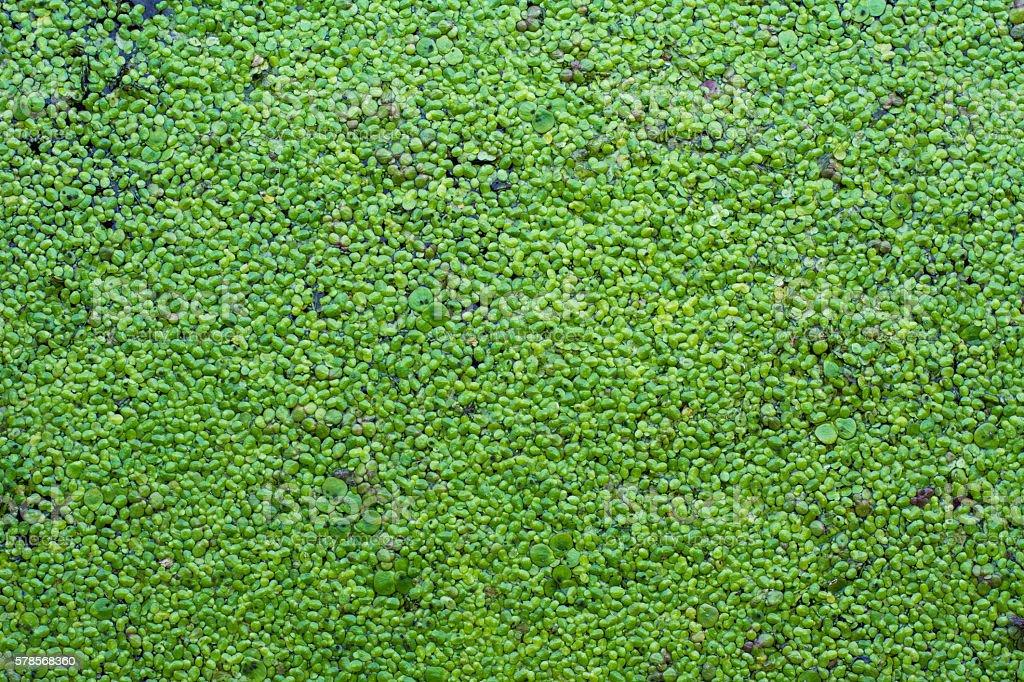 Duckweed background stock photo