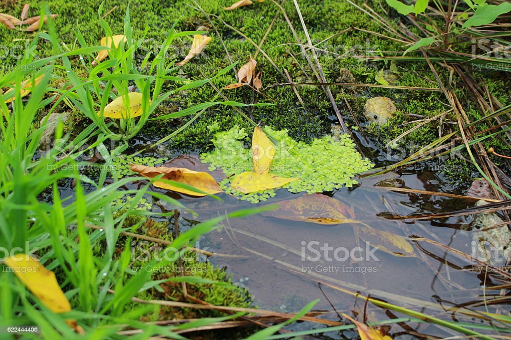 Duckweed in the source stock photo