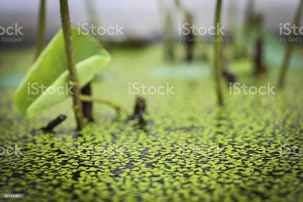 Duckweed stock photo