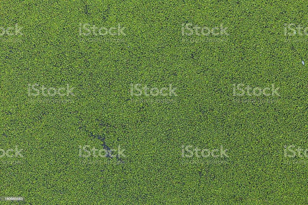 duckweed plant texture stock photo