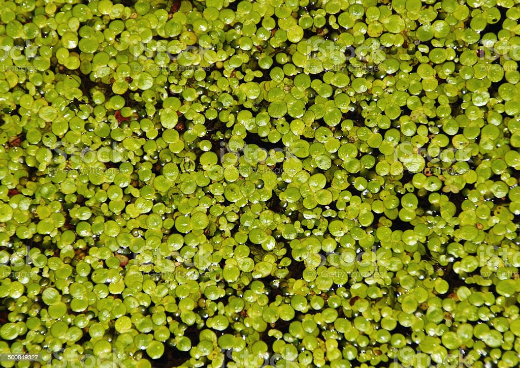 Duckweed plant with water drops on black water stock photo