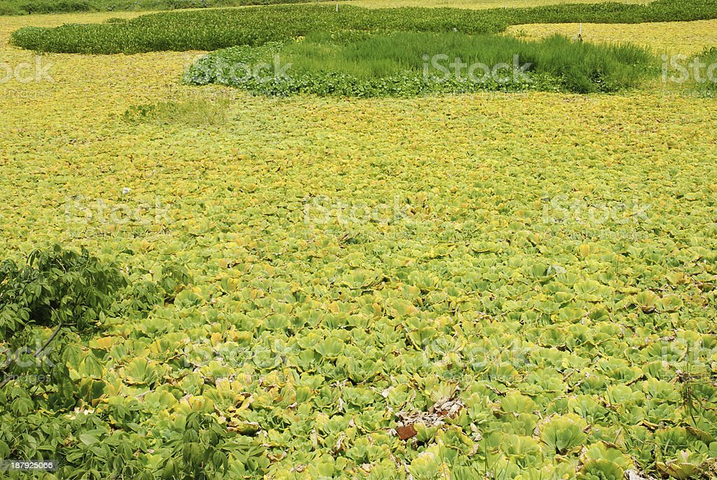 duckweed water pollution stock photo