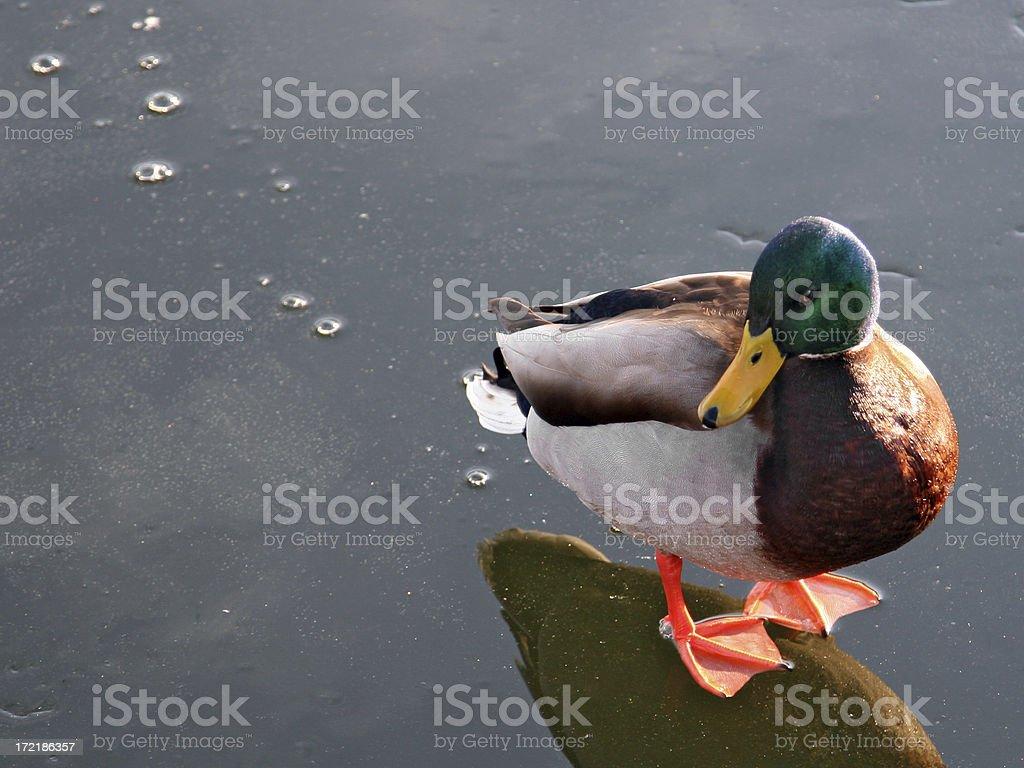 ducky royalty-free stock photo