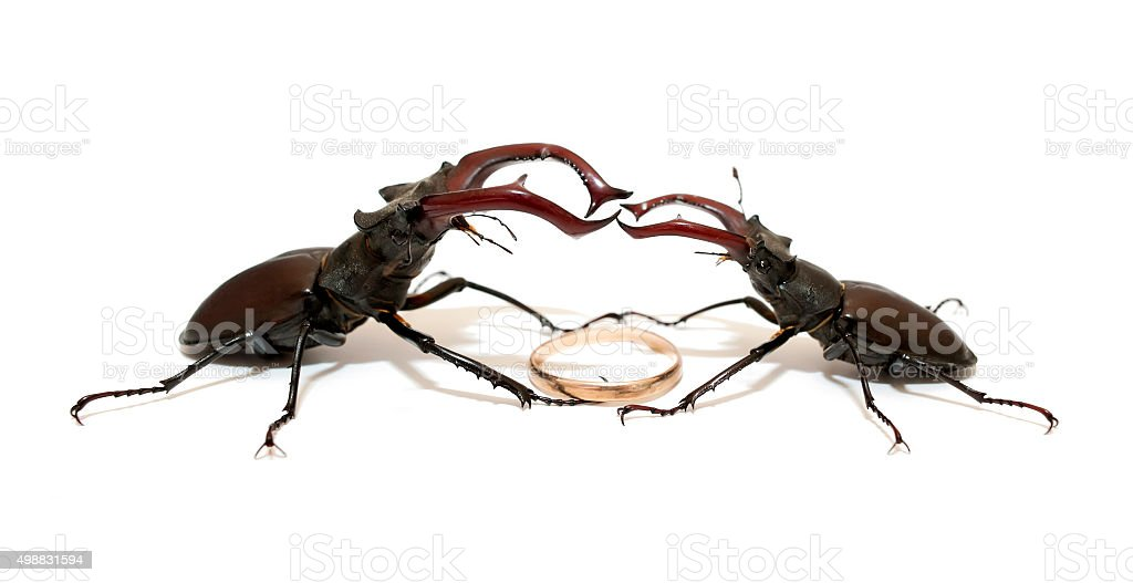 Duel of two stag beetles stock photo
