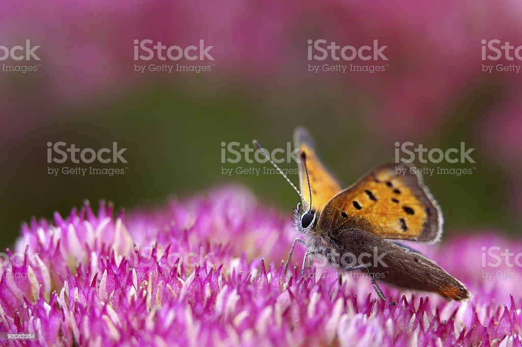 Dukat butterfly on stonecrop stock photo