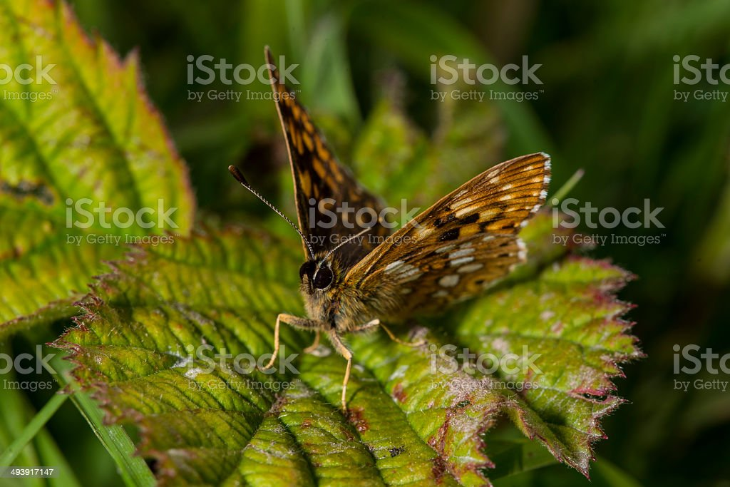 Duke of Burgundy Butterfly face on royalty-free stock photo