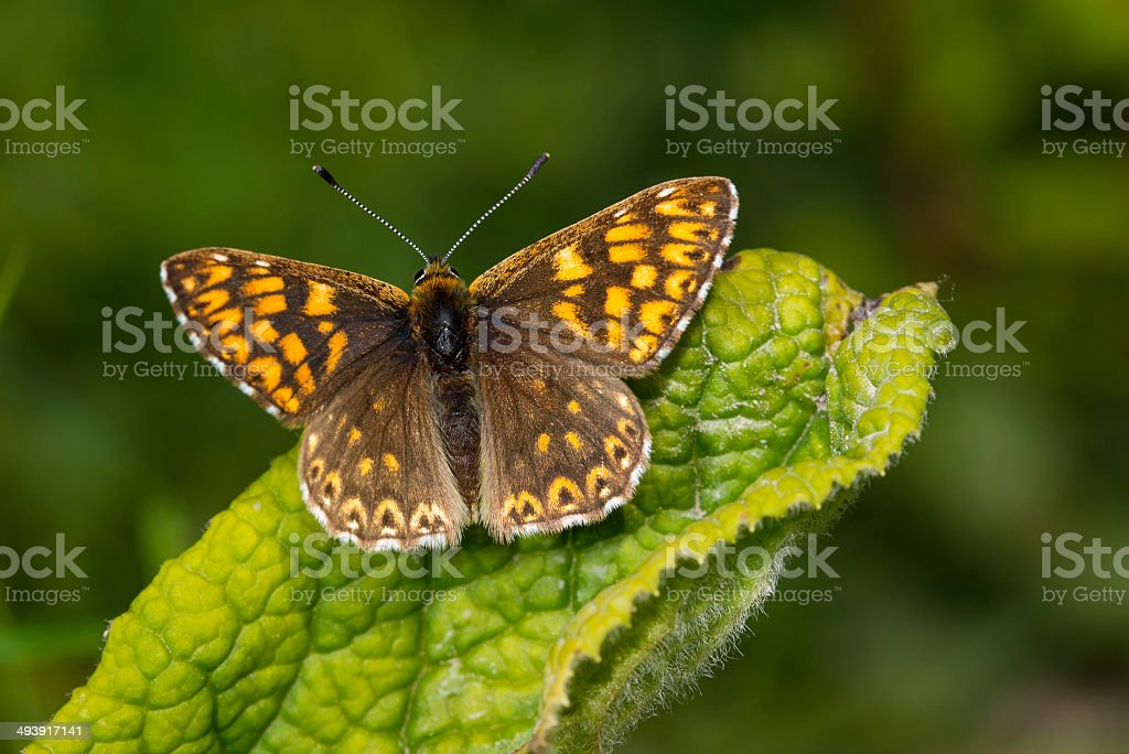 Duke of Burgundy Butterfly royalty-free stock photo