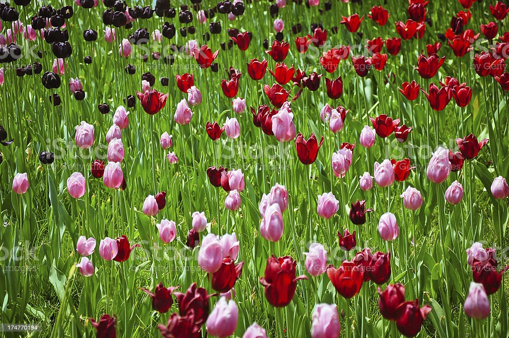 Dulips Flower Bed royalty-free stock photo