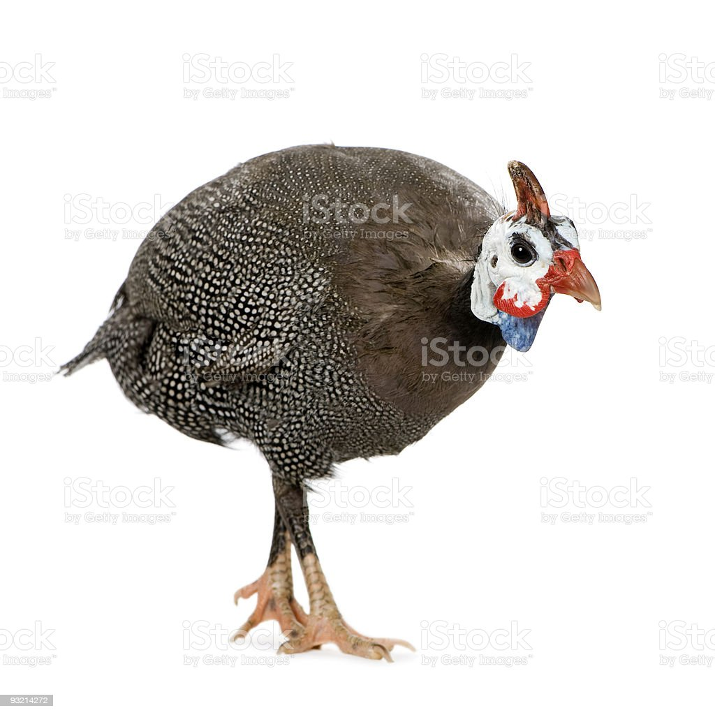 Dull colored helmeted Guinea fowl royalty-free stock photo