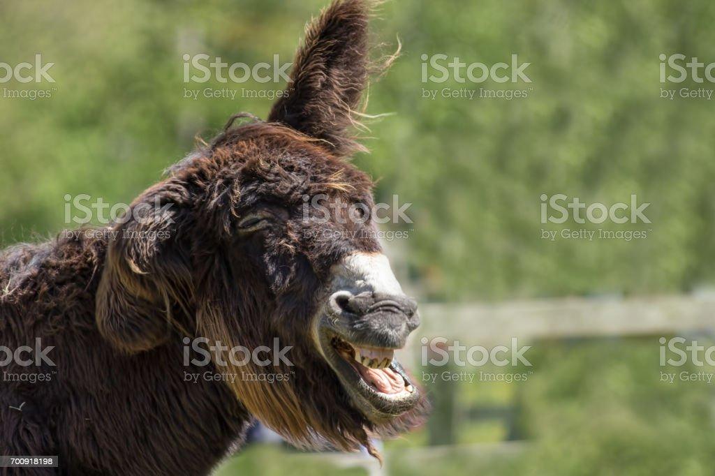 Dumb animal. Stupid looking jackass. Hairy laughing donkey funny animal meme image. stock photo