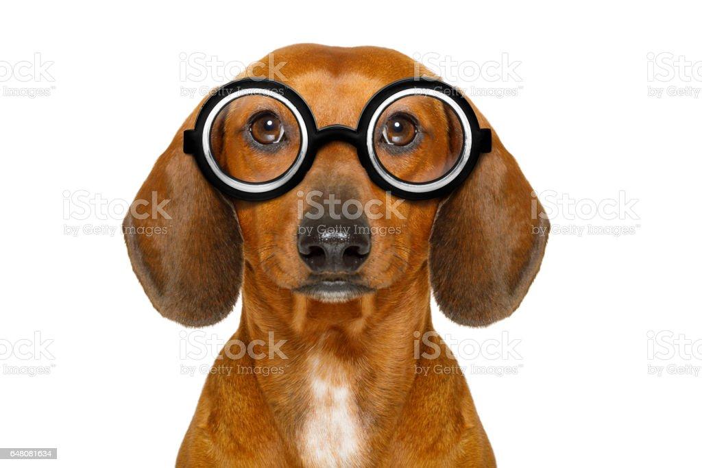 dumb nerd silly dachshund stock photo