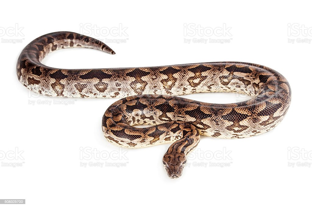 Dumeril's Boa Snake Isolated on White stock photo