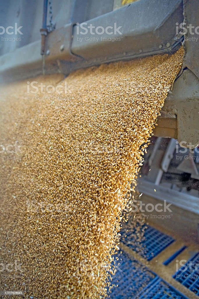 Dumping of wheat grains royalty-free stock photo