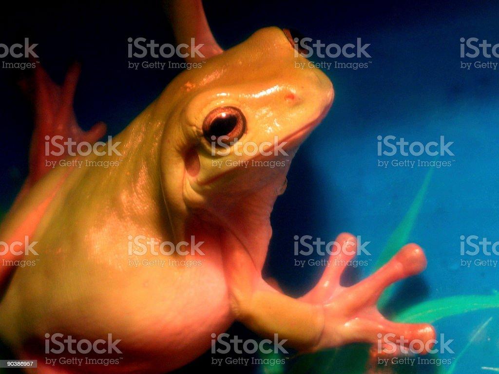 Dumpy Tree Frog royalty-free stock photo