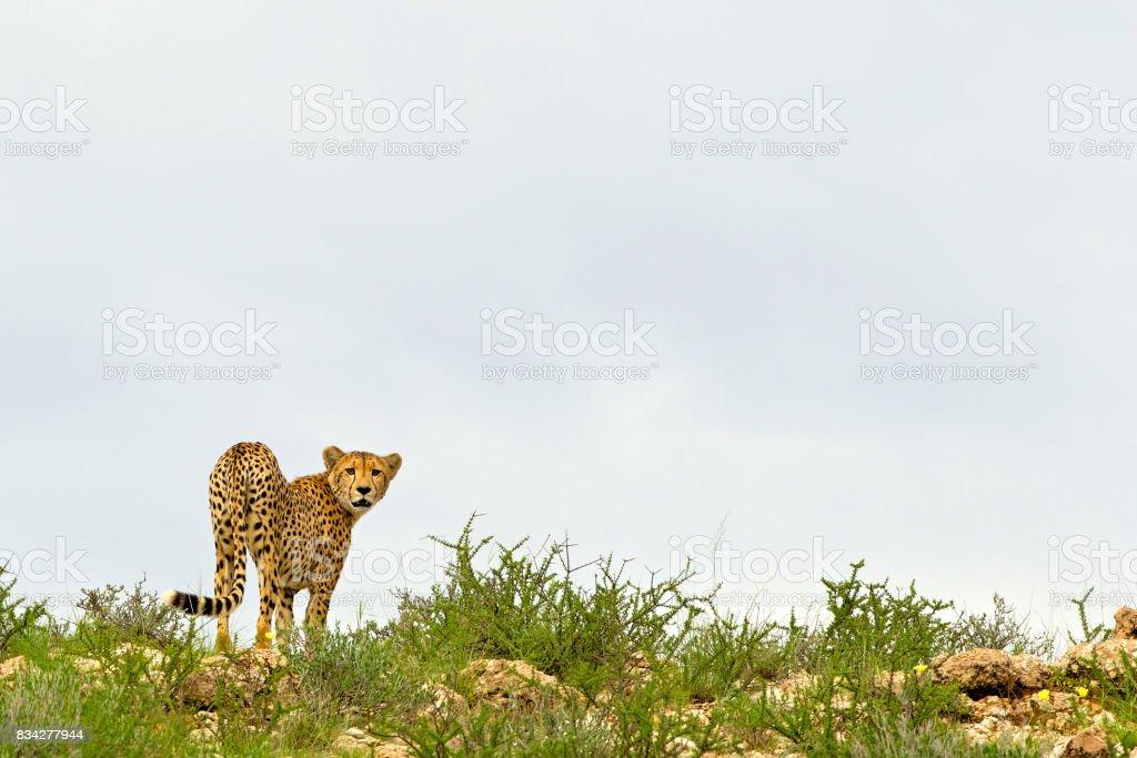 Dune Cheetah stock photo