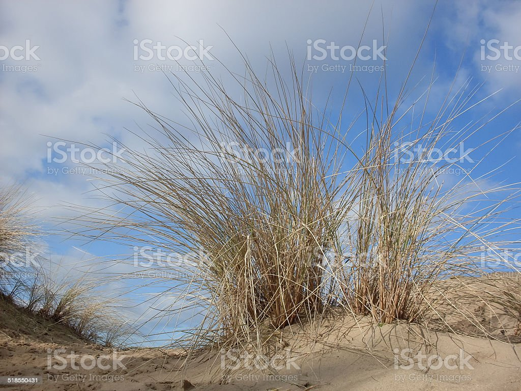 Dune grass in the dune area in Holland royalty-free stock photo