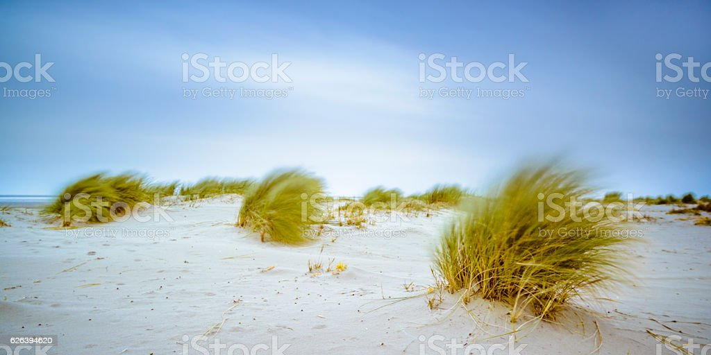 Dune grass moving in the wind at the beach stock photo
