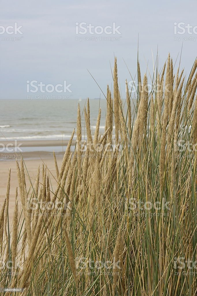 dune grass stock photo