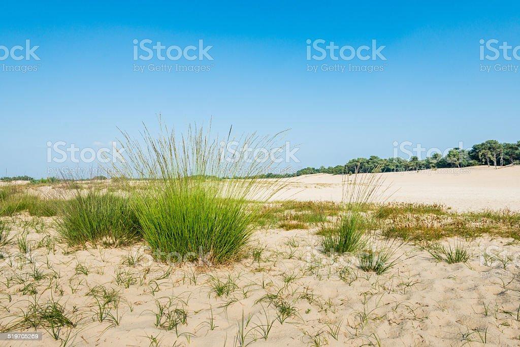 Dune landscape with flowering Purple Moor Grass stock photo
