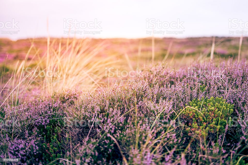 Dunes with Heather in meadow during sunrise stock photo
