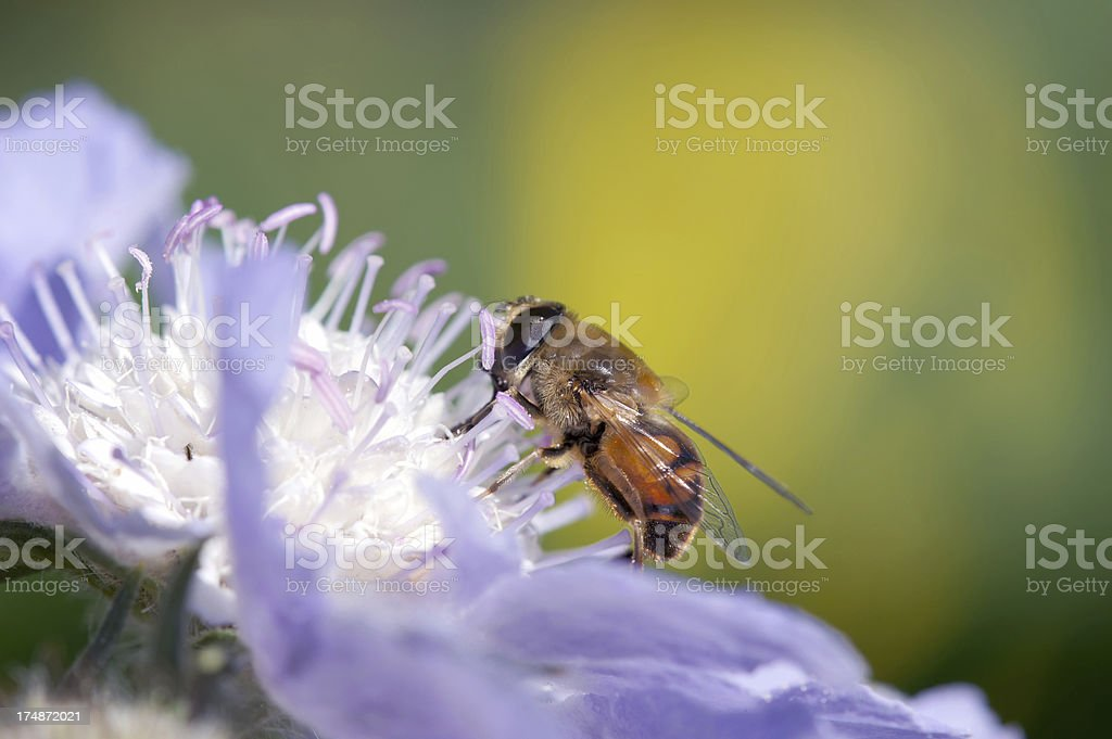 Dung bee on Skabiose royalty-free stock photo