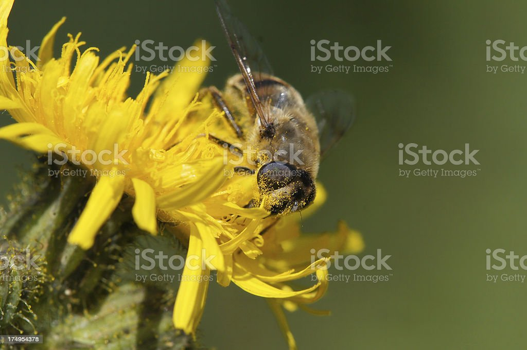 Dung bee on Sonchus arvensis royalty-free stock photo