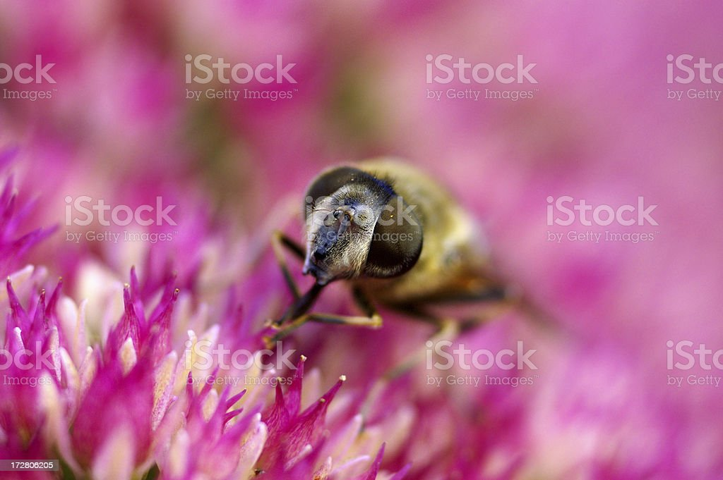 Dung bee on stonecrop stock photo