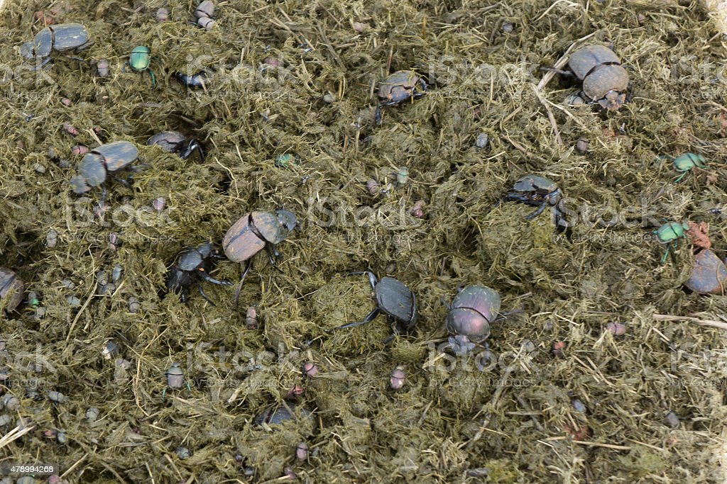 Dung beetle cleaning up elephant dung stock photo