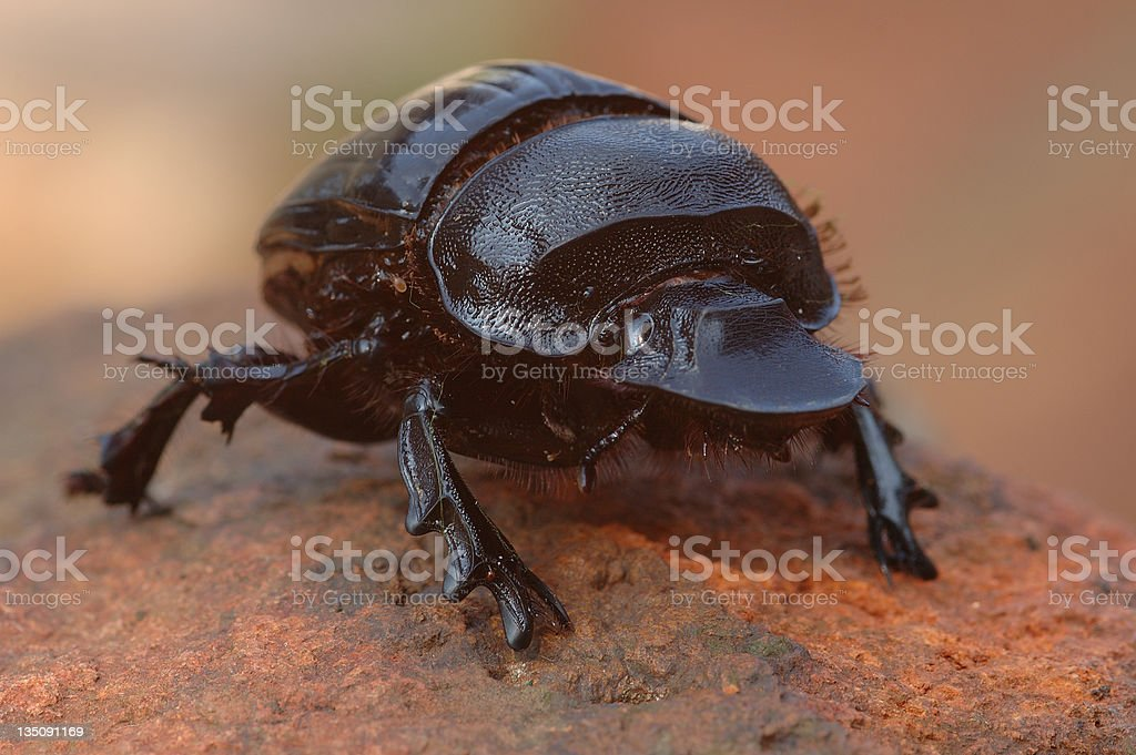 Dung Beetle royalty-free stock photo