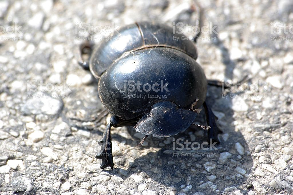 Dung Beetle stock photo