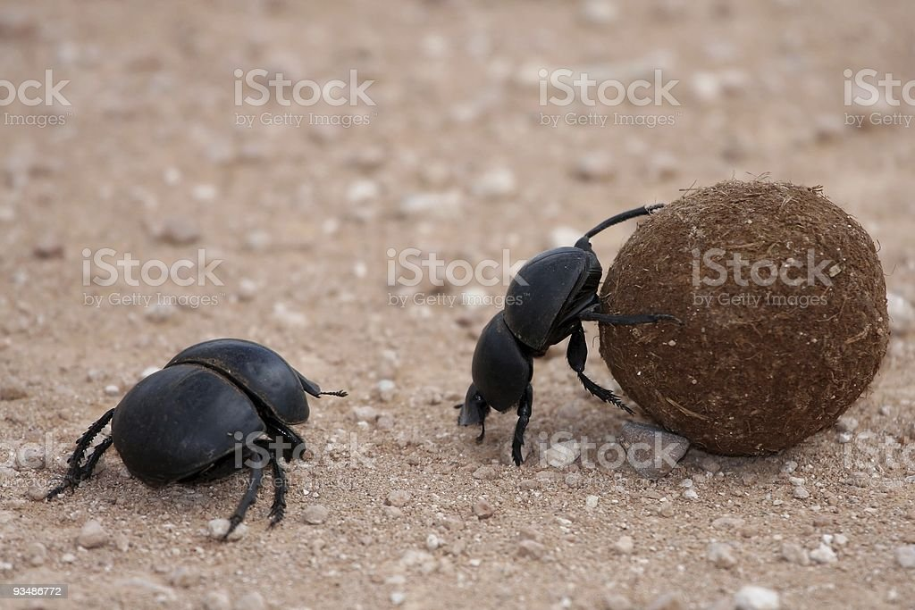 Dung beetles rolling a dung sphere stock photo