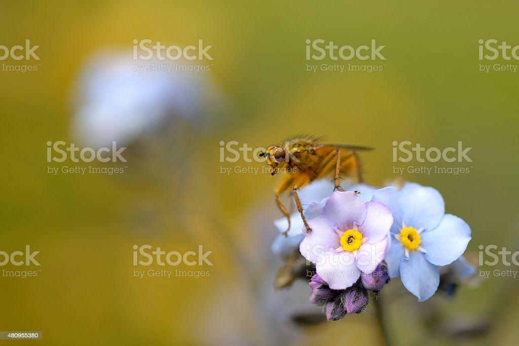 Dung Fly stock photo