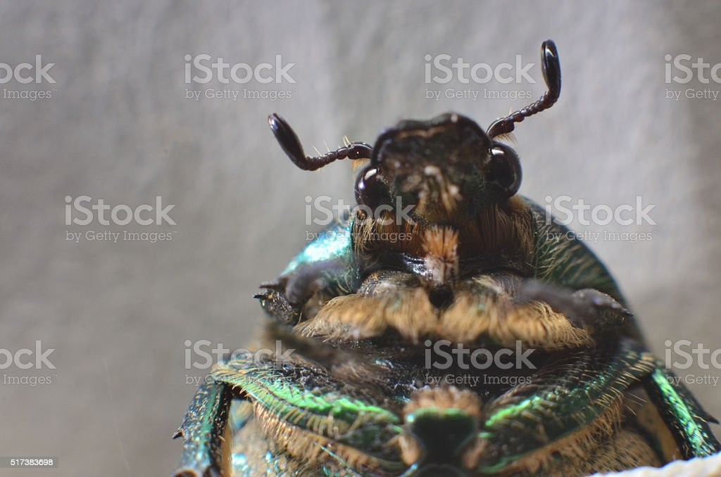 dung-beetle on wild nature stock photo
