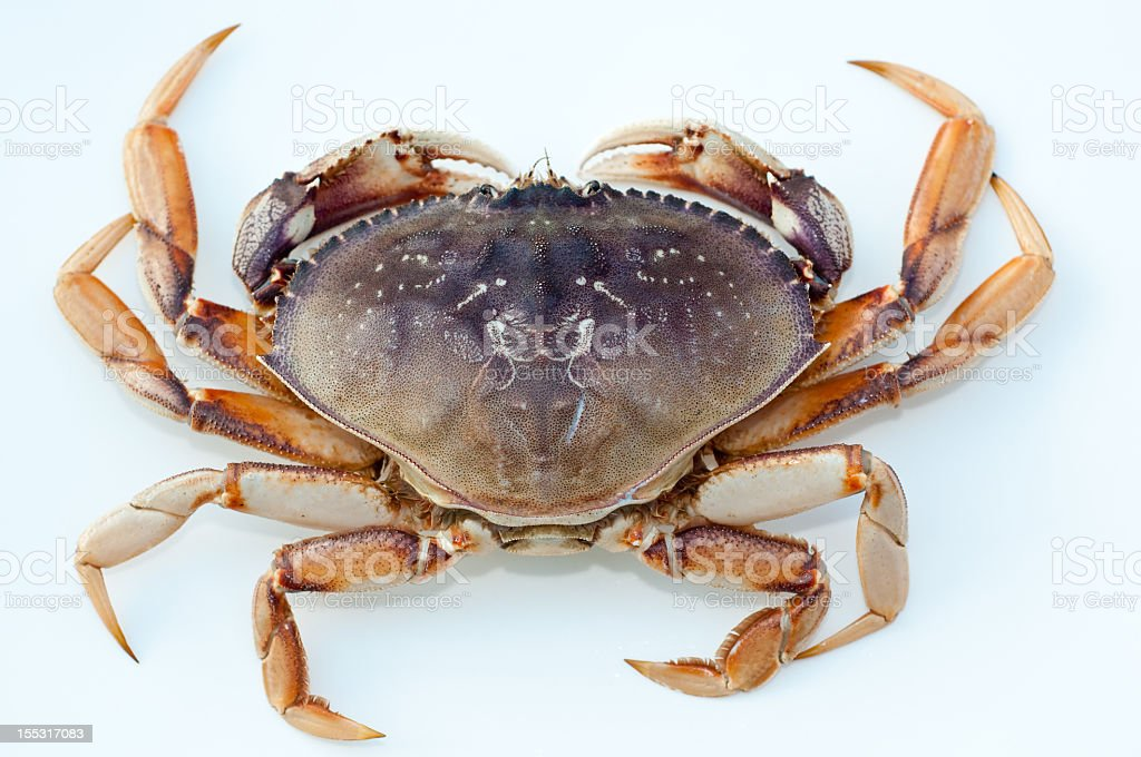Dungeness crab against white backdrop stock photo