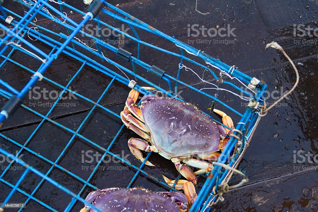 Dungeness Crab in Crab Pot stock photo