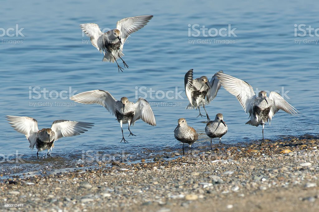 Dunlin royalty-free stock photo