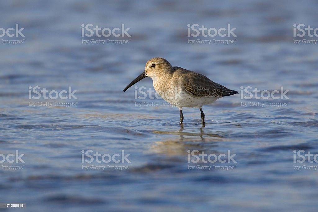 Dunlin (Calidris alpina) Shorebird in Blue Water stock photo