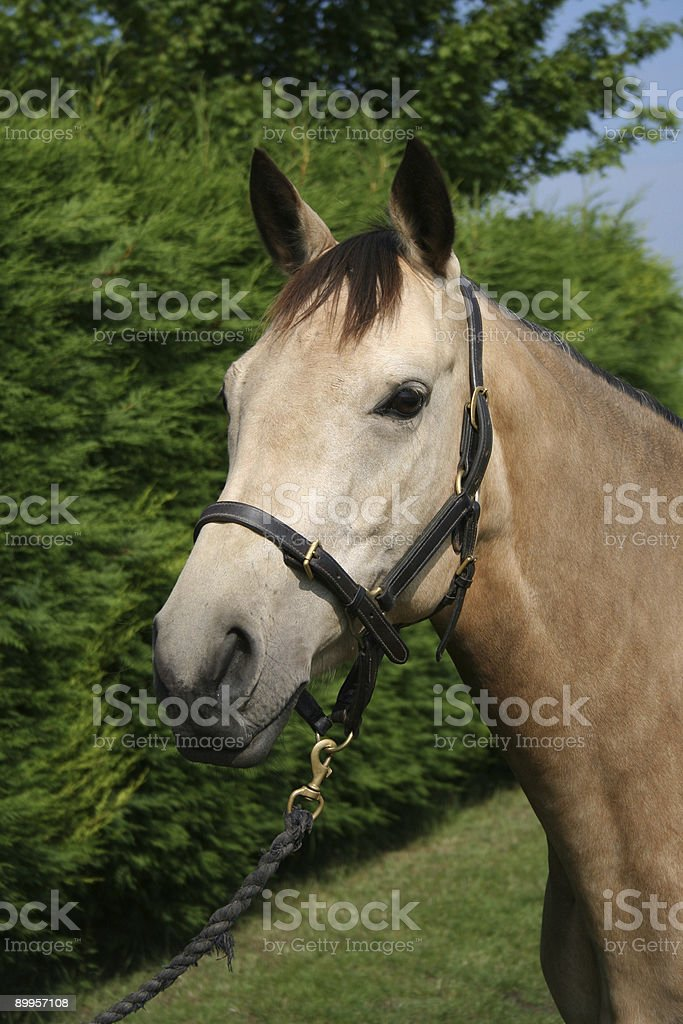 Dunn horse royalty-free stock photo