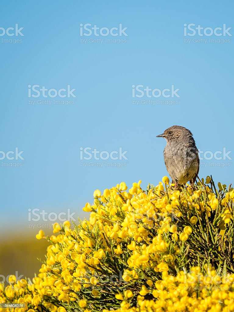 Dunnock bird Prunella modularis in colorful spring stock photo