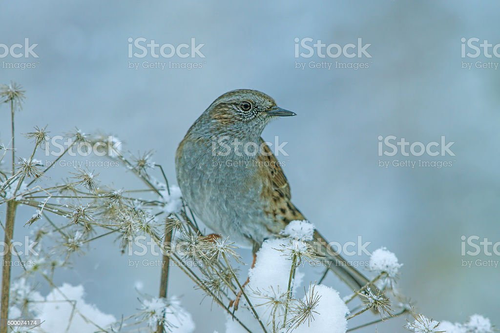 Dunnock in wintertime stock photo