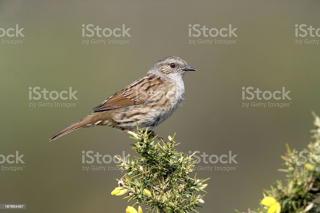 Dunnock or hedge sparrow, Prunella modularis, stock photo
