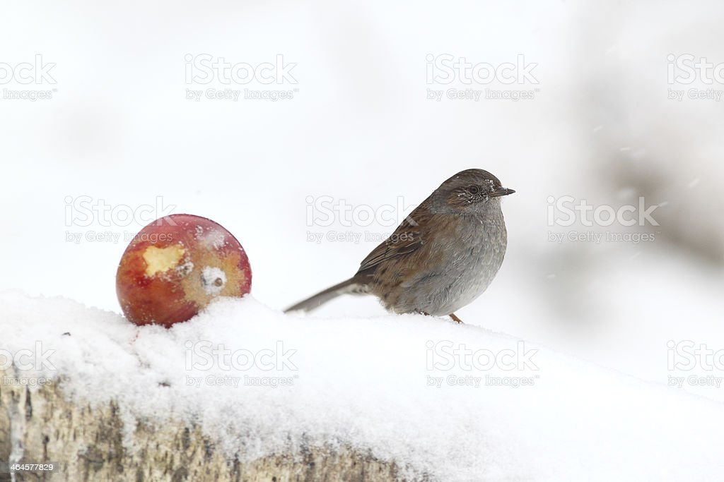 Dunnock or hedge sparrow, Prunella modularis stock photo