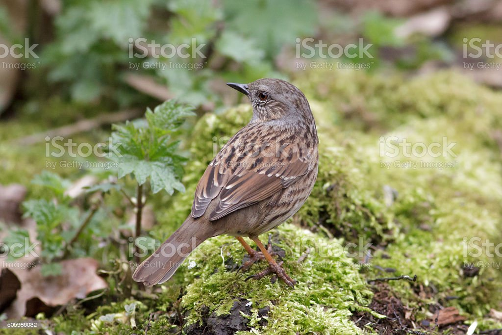 Dunnock (Prunella modularis) stock photo