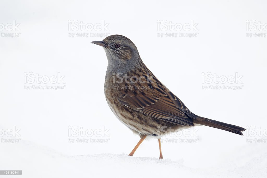 Dunnock, Prunella modularis stock photo