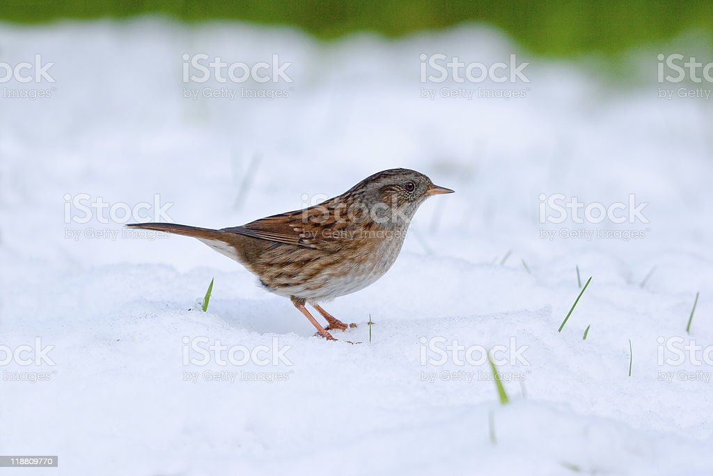 Dunnock standing in Snow stock photo