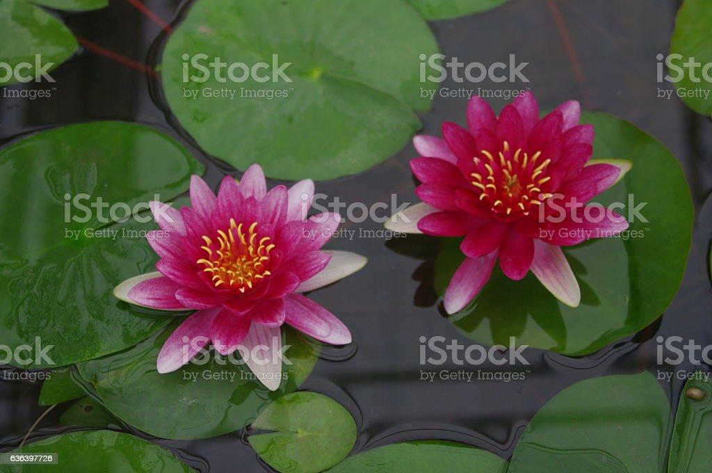 Duo lotus. stock photo