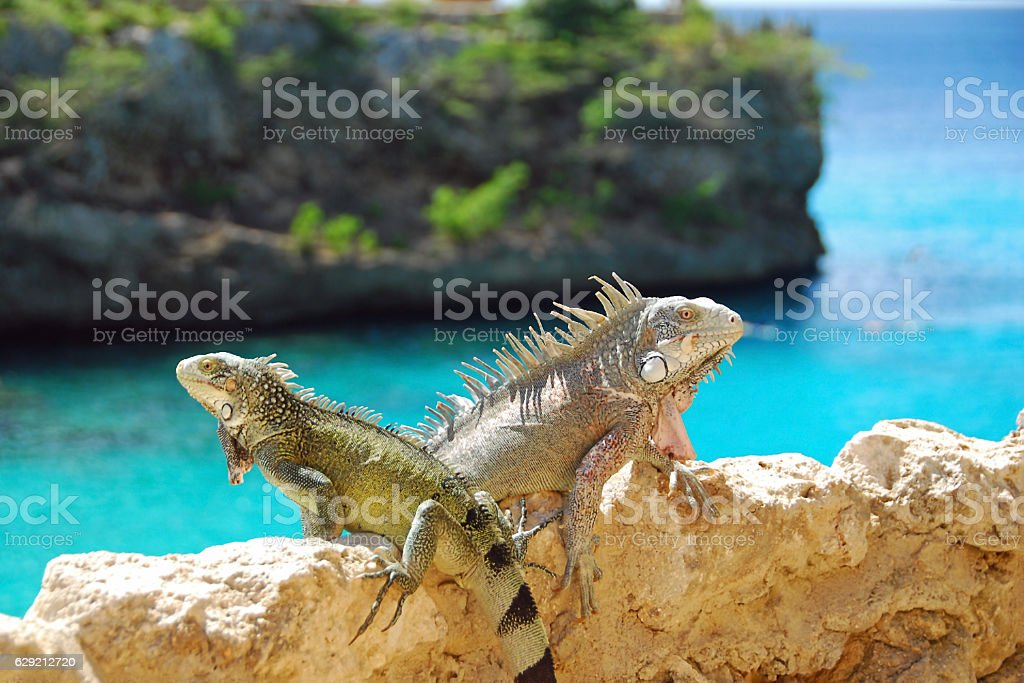 Duo of  Iguana sitting high up above the Caribbean Sea stock photo