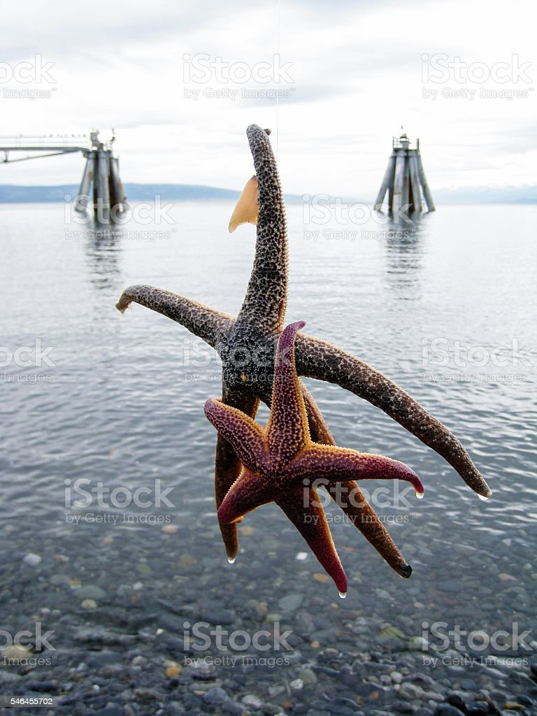 Duo starfishes catched in Homer stock photo